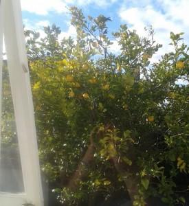 Sitruunapuu Kinuskit maailmalla